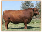 Fullblood Red Cattle